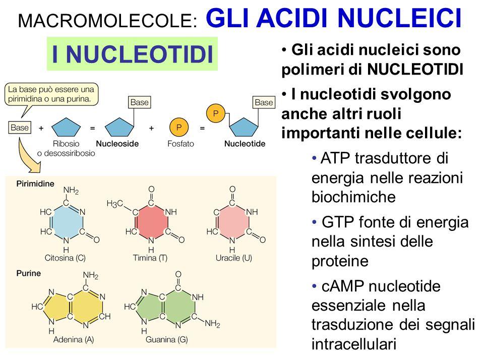 MACROMOLECOLE: GLI ACIDI NUCLEICI Gli acidi nucleici sono polimeri di NUCLEOTIDI I nucleotidi svolgono anche altri ruoli importanti nelle cellule: ATP
