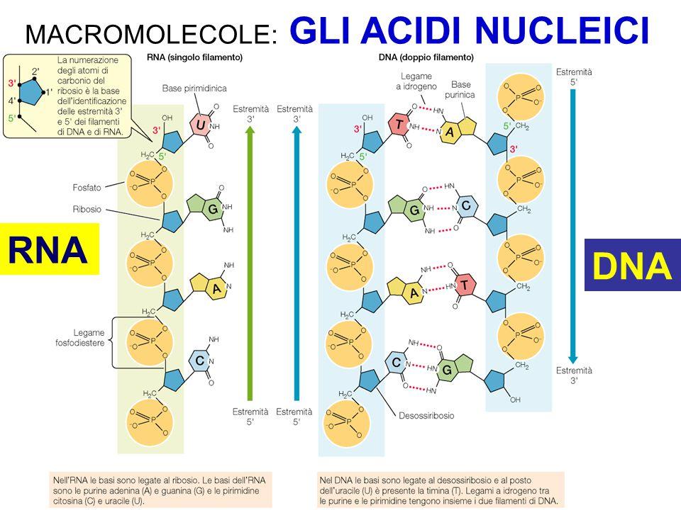 RNA DNA MACROMOLECOLE: GLI ACIDI NUCLEICI