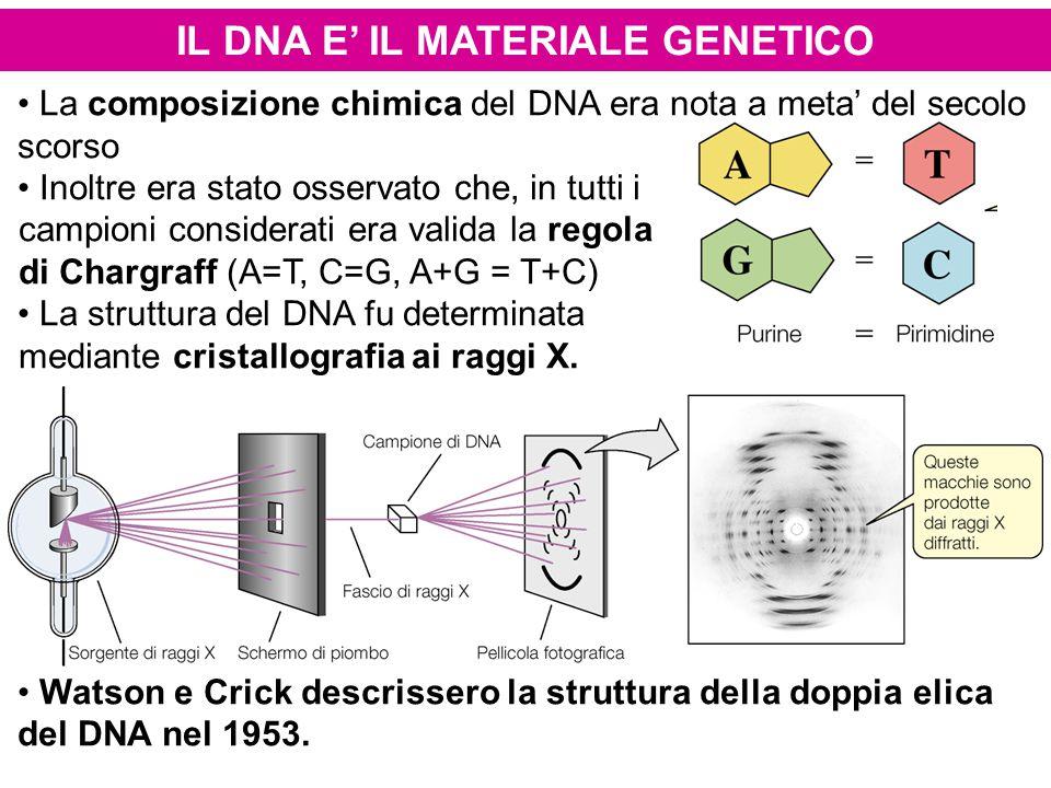 IL DNA E' IL MATERIALE GENETICO La composizione chimica del DNA era nota a meta' del secolo scorso Inoltre era stato osservato che, in tutti i campion