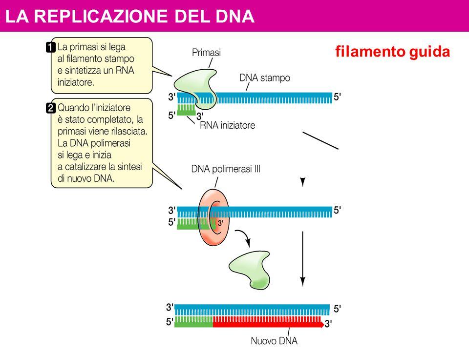 LA REPLICAZIONE DEL DNA filamento guida