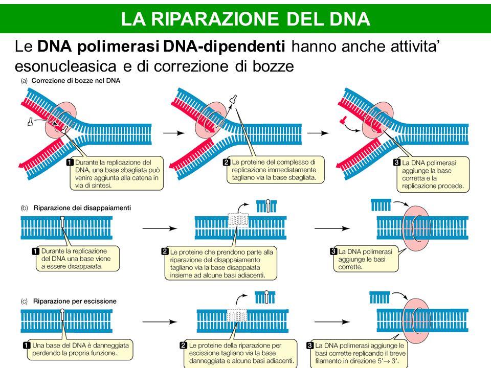 LA RIPARAZIONE DEL DNA Le DNA polimerasi DNA-dipendenti hanno anche attivita' esonucleasica e di correzione di bozze