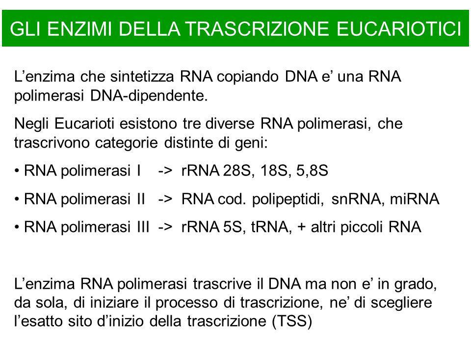GLI ENZIMI DELLA TRASCRIZIONE EUCARIOTICI L'enzima che sintetizza RNA copiando DNA e' una RNA polimerasi DNA-dipendente. Negli Eucarioti esistono tre