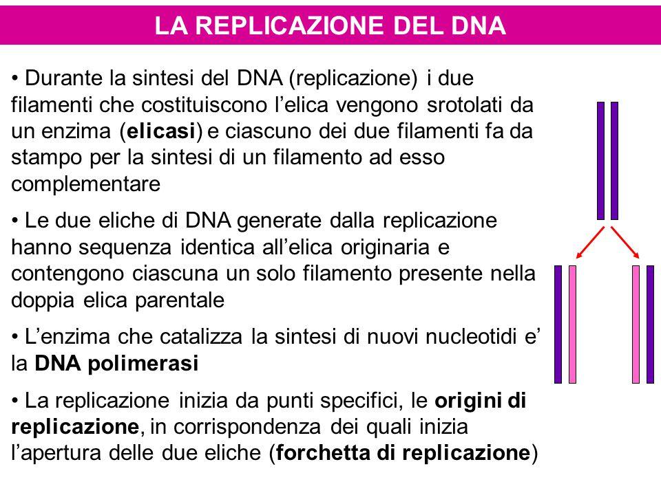 LA REPLICAZIONE DEL DNA Durante la sintesi del DNA (replicazione) i due filamenti che costituiscono l'elica vengono srotolati da un enzima (elicasi) e