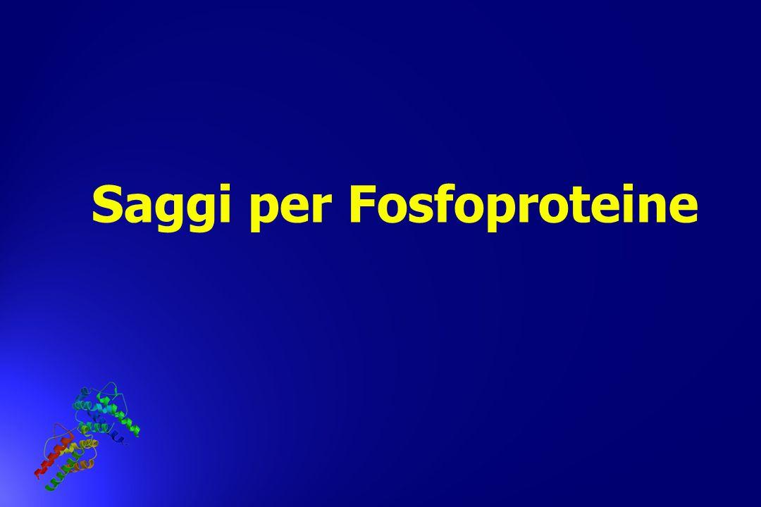Saggi per Fosfoproteine