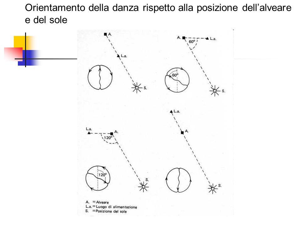 Orientamento della danza rispetto alla posizione dell'alveare e del sole