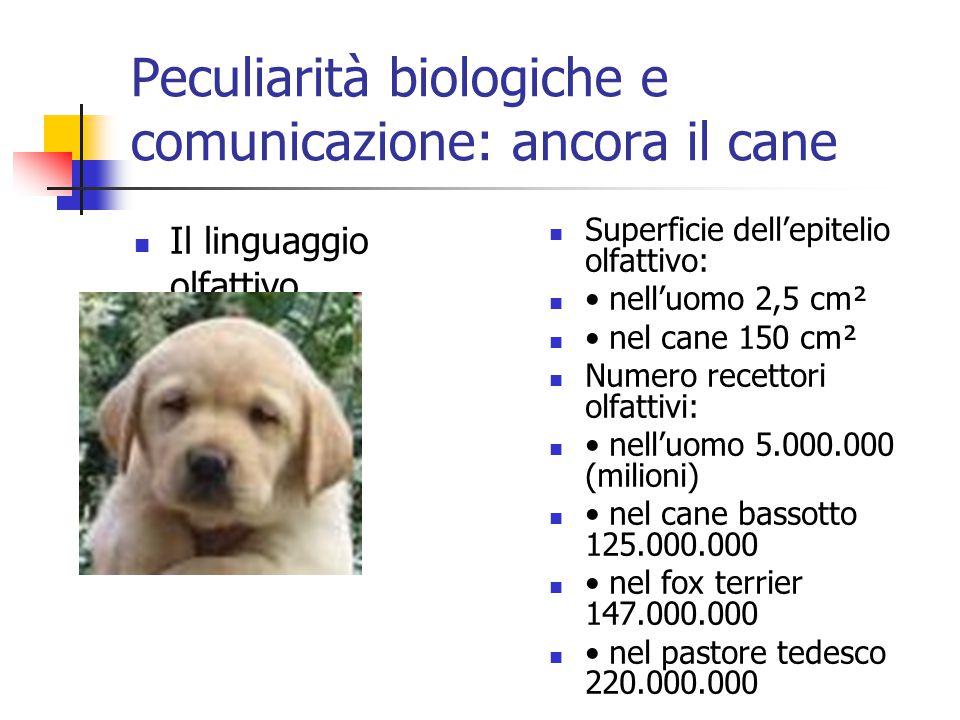 Peculiarità biologiche e comunicazione: ancora il cane Il linguaggio olfattivo Superficie dell'epitelio olfattivo: nell'uomo 2,5 cm² nel cane 150 cm²