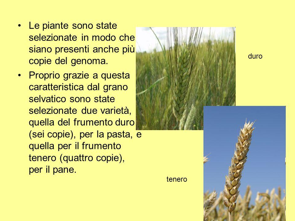 Le piante sono state selezionate in modo che siano presenti anche più copie del genoma. Proprio grazie a questa caratteristica dal grano selvatico son