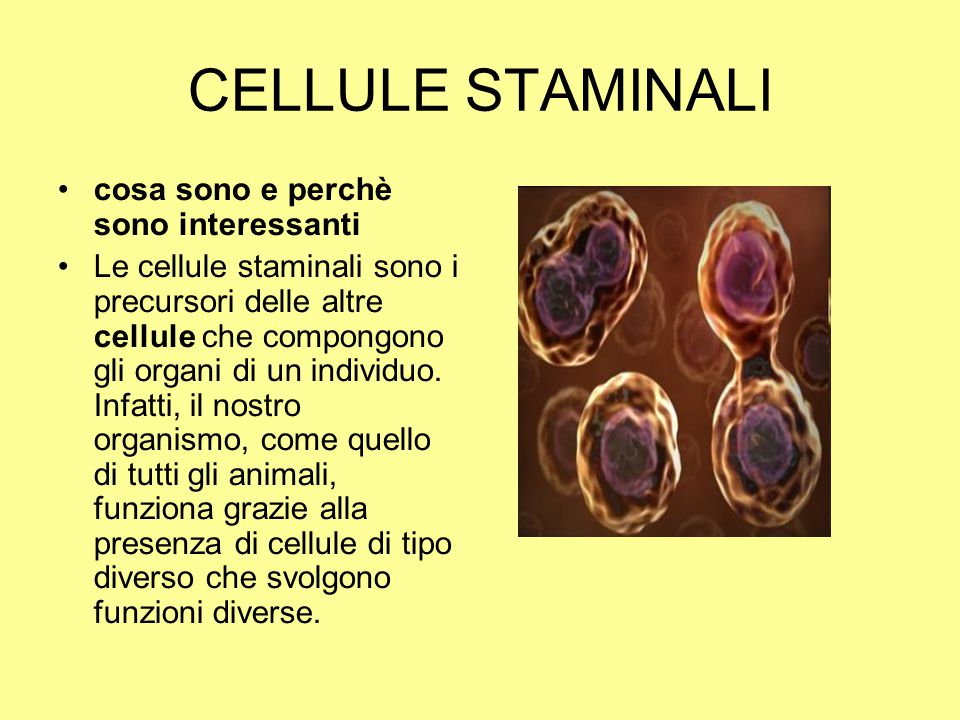 CELLULE STAMINALI cosa sono e perchè sono interessanti Le cellule staminali sono i precursori delle altre cellule che compongono gli organi di un indi