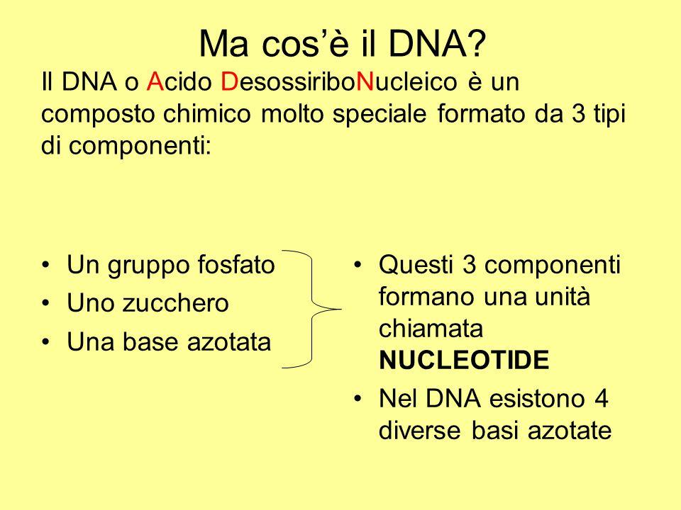 Ma cos'è il DNA? Il DNA o Acido DesossiriboNucleico è un composto chimico molto speciale formato da 3 tipi di componenti: Un gruppo fosfato Uno zucche