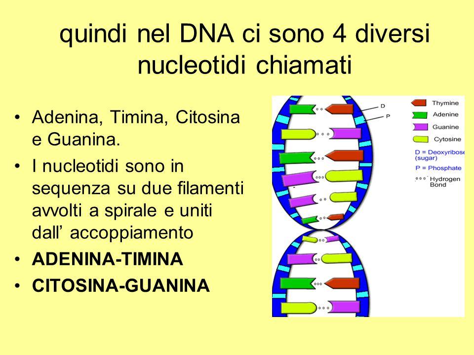 quindi nel DNA ci sono 4 diversi nucleotidi chiamati Adenina, Timina, Citosina e Guanina. I nucleotidi sono in sequenza su due filamenti avvolti a spi