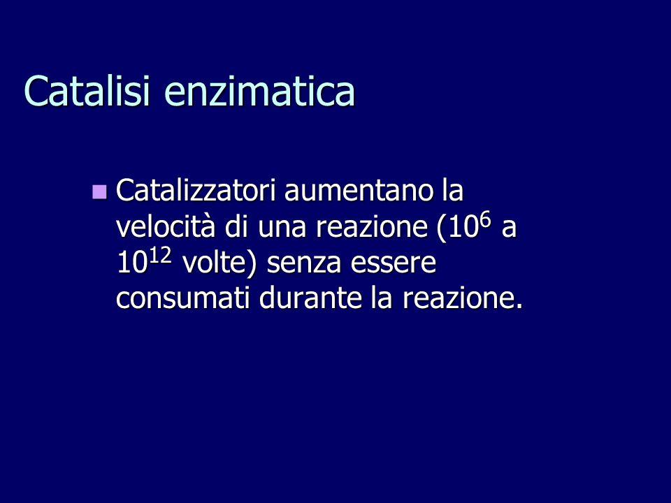 Catalisi enzimatica Catalizzatori aumentano la velocità di una reazione (10 6 a 10 12 volte) senza essere consumati durante la reazione. Catalizzatori