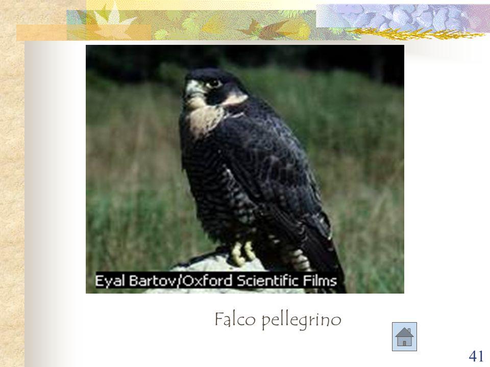 41 Falco pellegrino