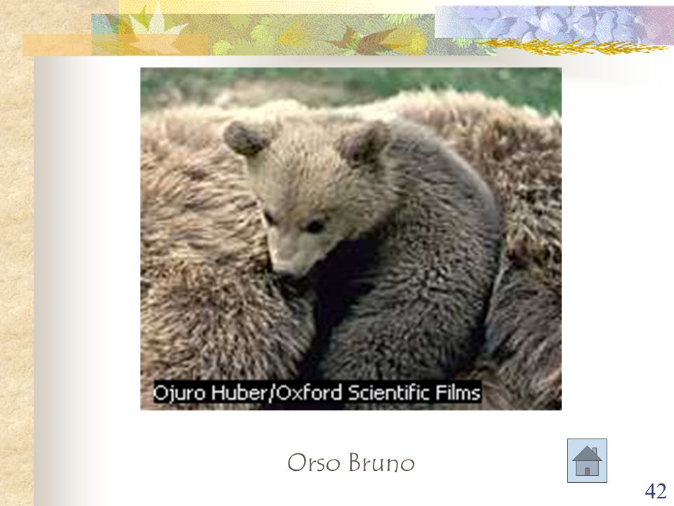 42 Orso Bruno