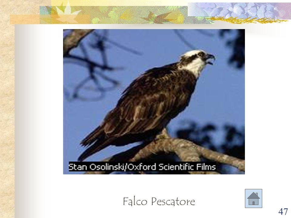 47 Falco Pescatore