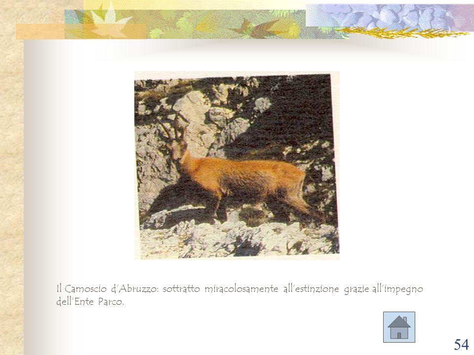 54 Il Camoscio d'Abruzzo: sottratto miracolosamente all'estinzione grazie all'impegno dell'Ente Parco.