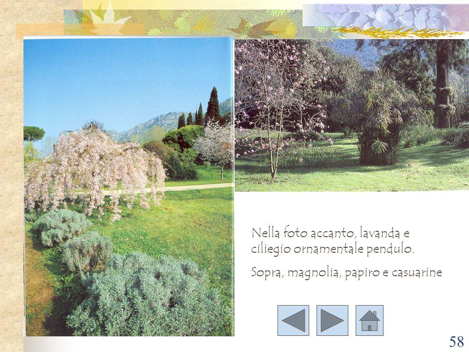 58 Nella foto accanto, lavanda e ciliegio ornamentale pendulo. Sopra, magnolia, papiro e casuarine
