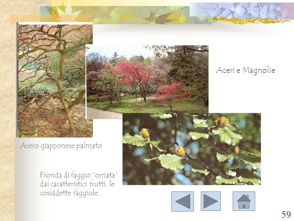 """59 Aceri e Magnolie Acero giapponese palmato Fronda di faggio """"ornata"""" dai caratteristici frutti, le cosiddette faggiole."""