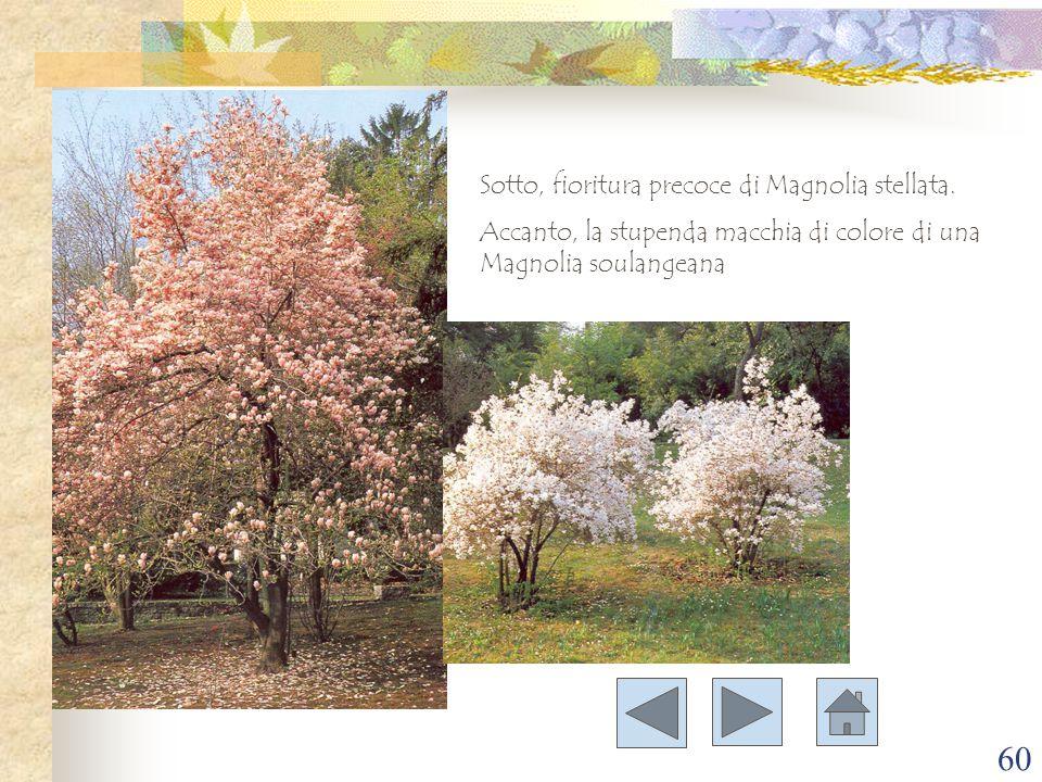 60 Sotto, fioritura precoce di Magnolia stellata. Accanto, la stupenda macchia di colore di una Magnolia soulangeana
