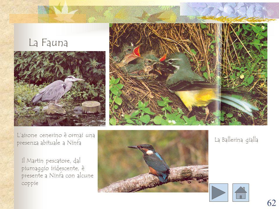 62 La Fauna L'airone cenerino è ormai una presenza abituale a Ninfa Il Martin pescatore, dal piumaggio iridescente, è presente a Ninfa con alcune copp