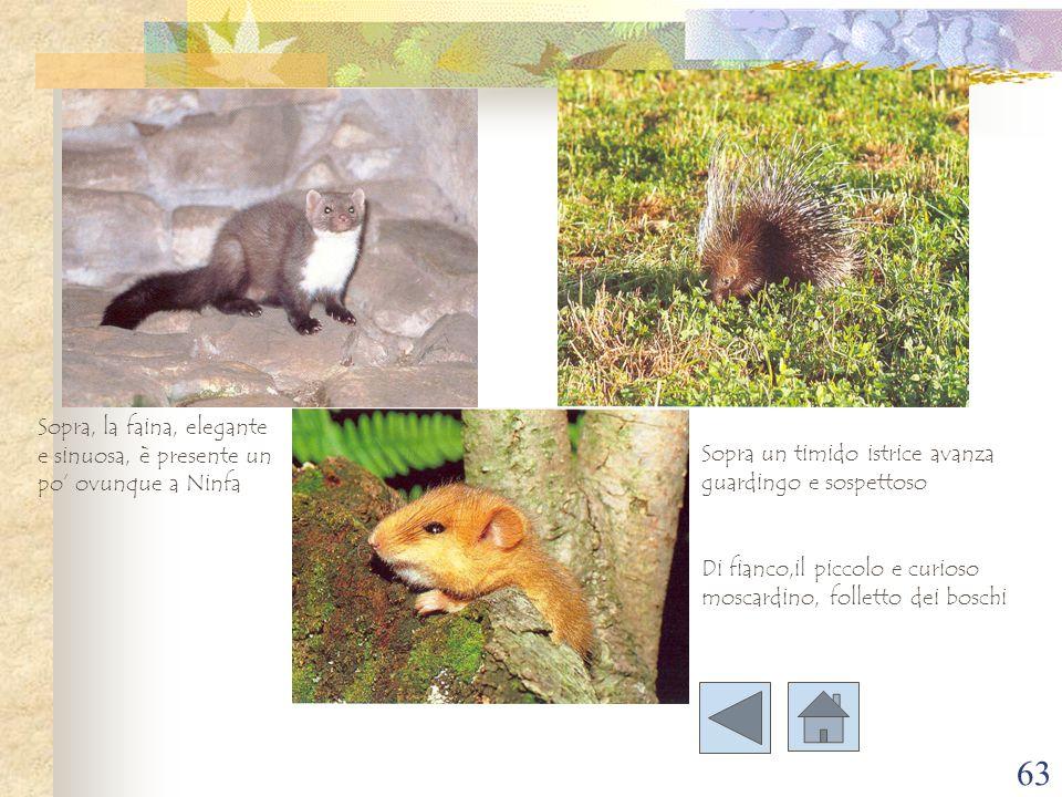 63 Sopra un timido istrice avanza guardingo e sospettoso Sopra, la faina, elegante e sinuosa, è presente un po' ovunque a Ninfa Di fianco,il piccolo e