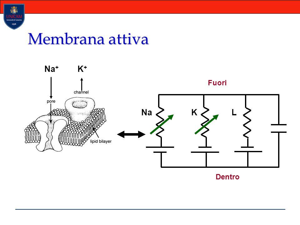 Membrana attiva NaKL Dentro Fuori Na + K+K+