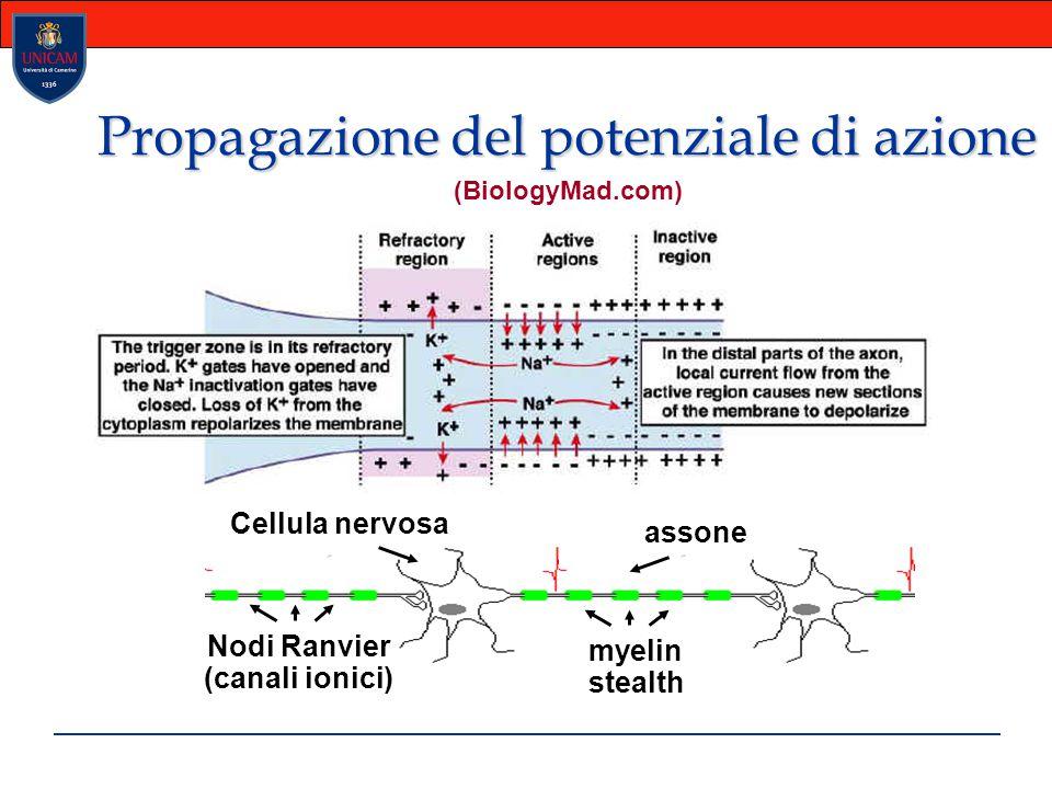 Propagazione del potenziale di azione myelin stealth Nodi Ranvier (canali ionici) assone Cellula nervosa (BiologyMad.com)