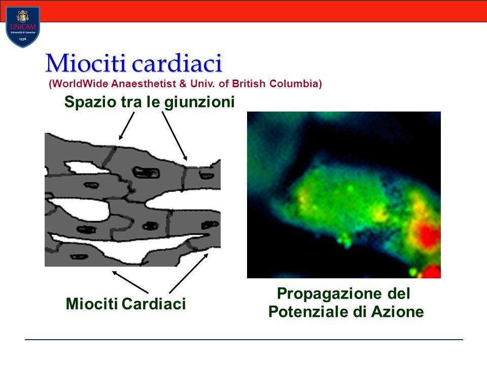Miociti cardiaci Miociti Cardiaci Spazio tra le giunzioni Propagazione del Potenziale di Azione (WorldWide Anaesthetist & Univ. of British Columbia)