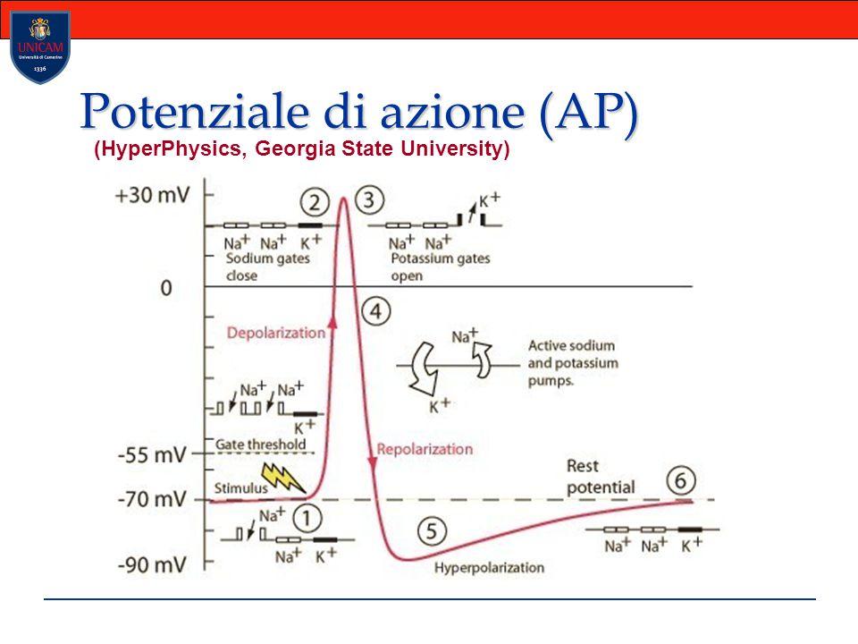 Potenziale di Azione (AP) L Azione Potenziale è causata dal movimento degli ioni positivi dentro e fuori della membrana cellulare.