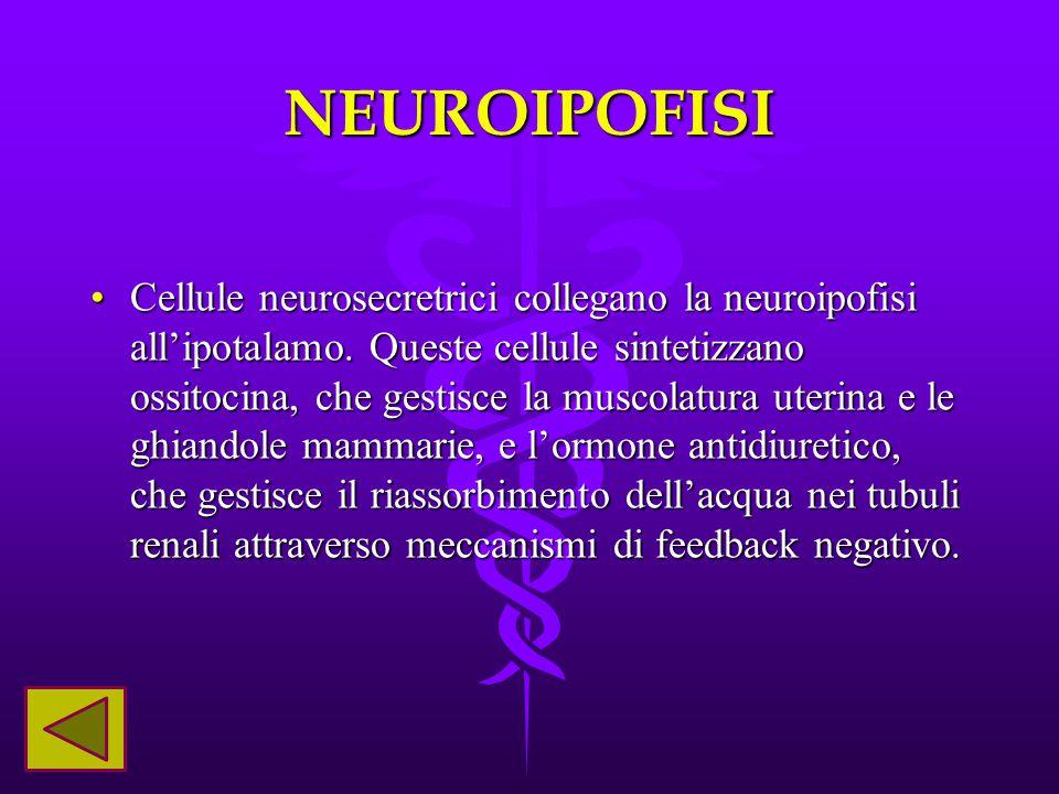 NEUROIPOFISI Cellule neurosecretrici collegano la neuroipofisi all'ipotalamo. Queste cellule sintetizzano ossitocina, che gestisce la muscolatura uter