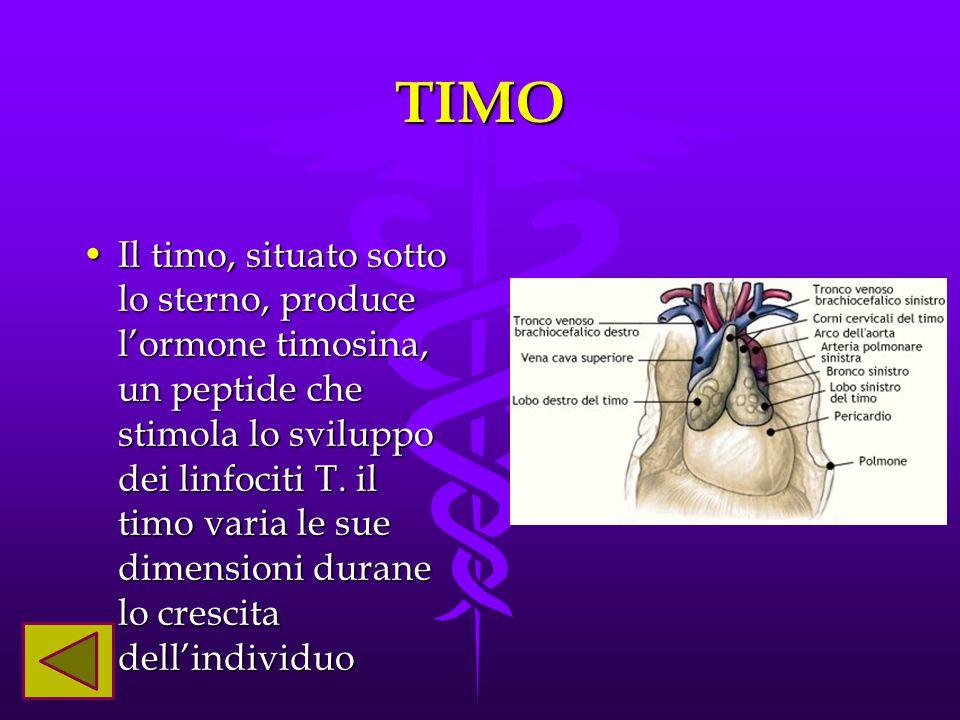 TIMO Il timo, situato sotto lo sterno, produce l'ormone timosina, un peptide che stimola lo sviluppo dei linfociti T. il timo varia le sue dimensioni