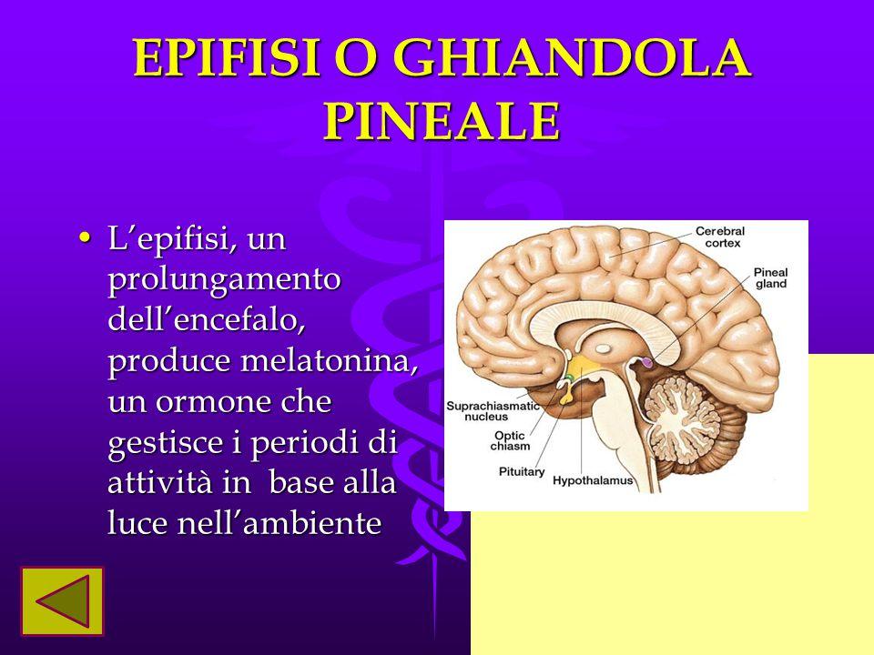 EPIFISI O GHIANDOLA PINEALE L'epifisi, un prolungamento dell'encefalo, produce melatonina, un ormone che gestisce i periodi di attività in base alla l