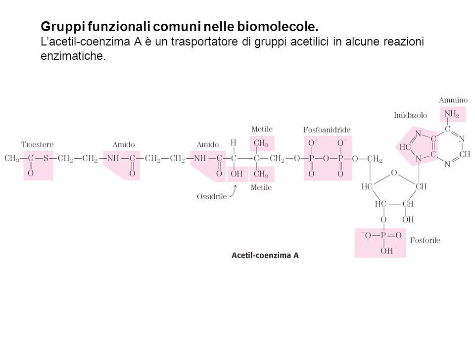 Gruppi funzionali comuni nelle biomolecole. L'acetil-coenzima A è un trasportatore di gruppi acetilici in alcune reazioni enzimatiche.