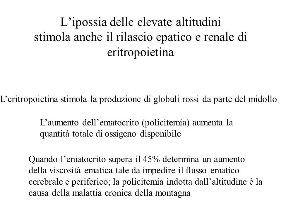 L'ipossia delle elevate altitudini stimola anche il rilascio epatico e renale di eritropoietina L'eritropoietina stimola la produzione di globuli ross