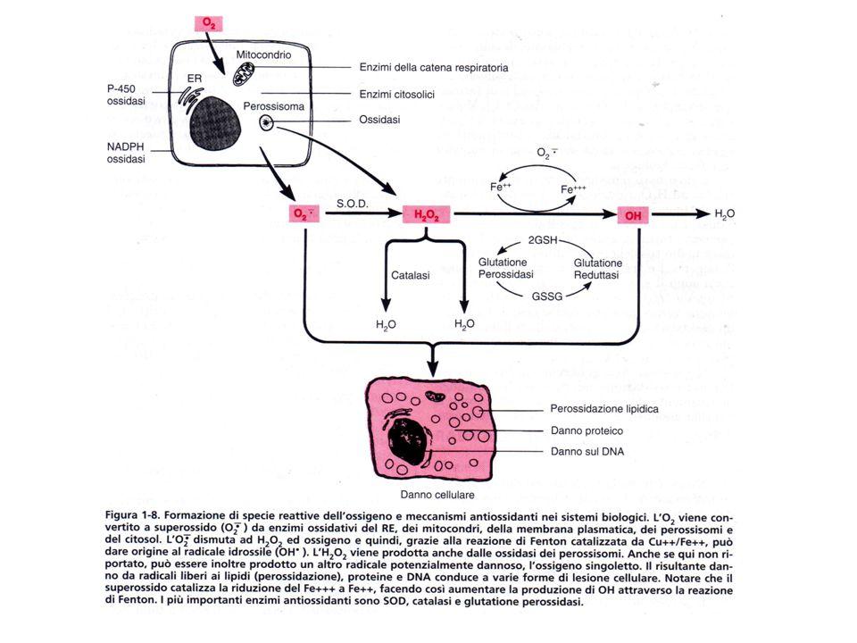 Stress ossidativo e invecchiamento è noto che una relativa iponutrizione (non malnutrizione) allunga la vita del 50% nell'animale da esperimento-topo- e sembra anche nell'uomo.