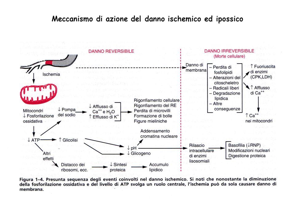 Meccanismo di azione del danno ischemico ed ipossico