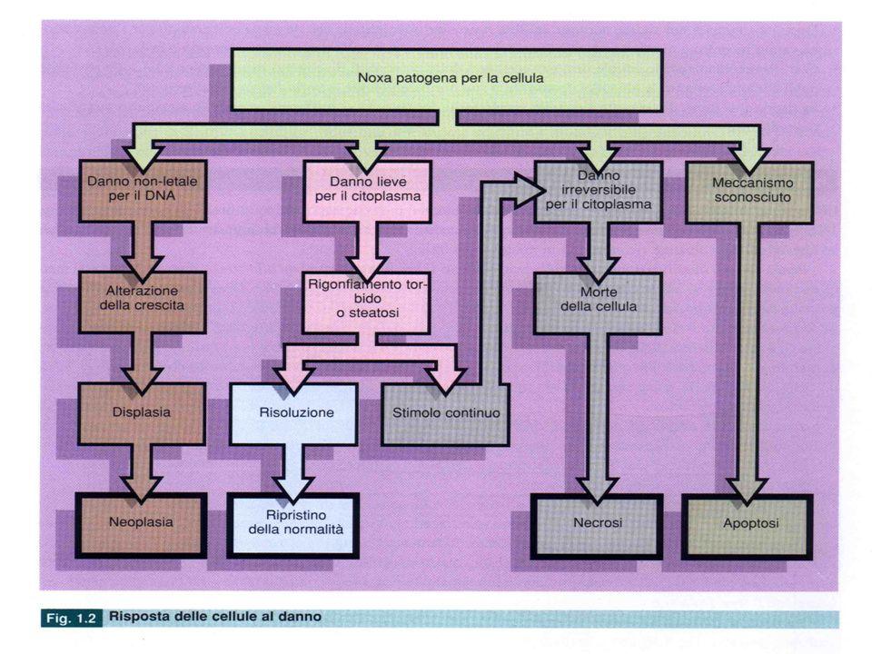 Tipi di risposta ad uno stimolo/danno La cellula svolge le sue funzioni seguendo un programma genetico modulato dagli stimoli che la circondano in una condizione di normale omeostasi.