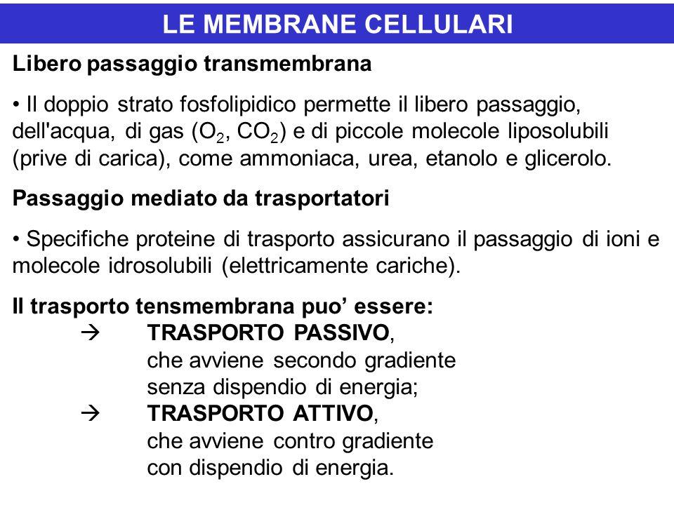 LE MEMBRANE CELLULARI Libero passaggio transmembrana Il doppio strato fosfolipidico permette il libero passaggio, dell'acqua, di gas (O 2, CO 2 ) e di