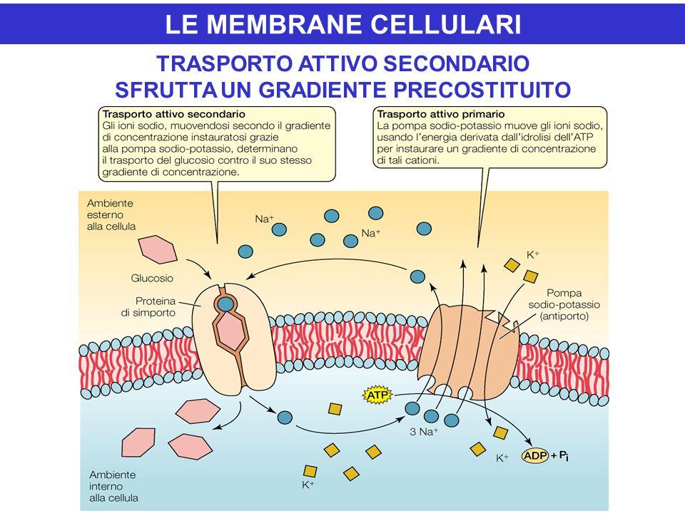 LE MEMBRANE CELLULARI TRASPORTO ATTIVO SECONDARIO SFRUTTA UN GRADIENTE PRECOSTITUITO