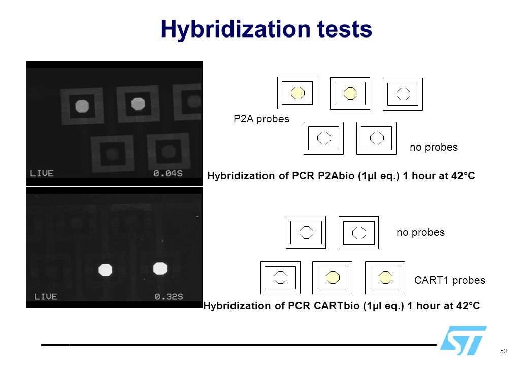 53 Hybridization of PCR P2Abio (1µl eq.) 1 hour at 42°C P2A probes no probes Hybridization of PCR CARTbio (1µl eq.) 1 hour at 42°C no probes CART1 pro