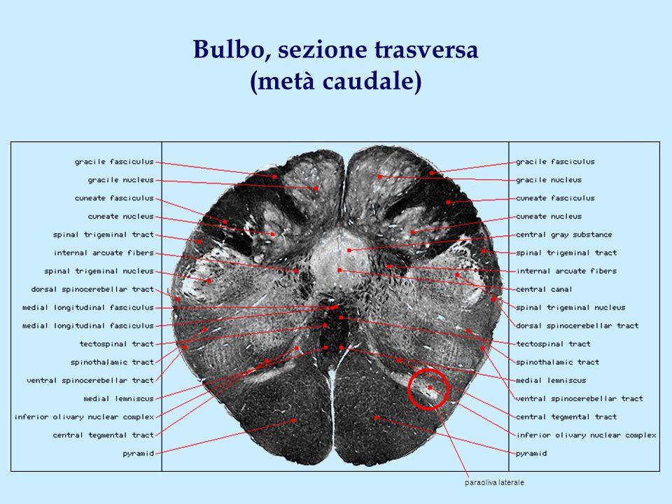 Bulbo, sezione trasversa (metà caudale) paraoliva laterale