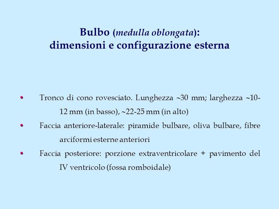 Bulbo ( medulla oblongata ) : dimensioni e configurazione esterna Tronco di cono rovesciato. Lunghezza  30 mm; larghezza  10- 12 mm (in basso),  22