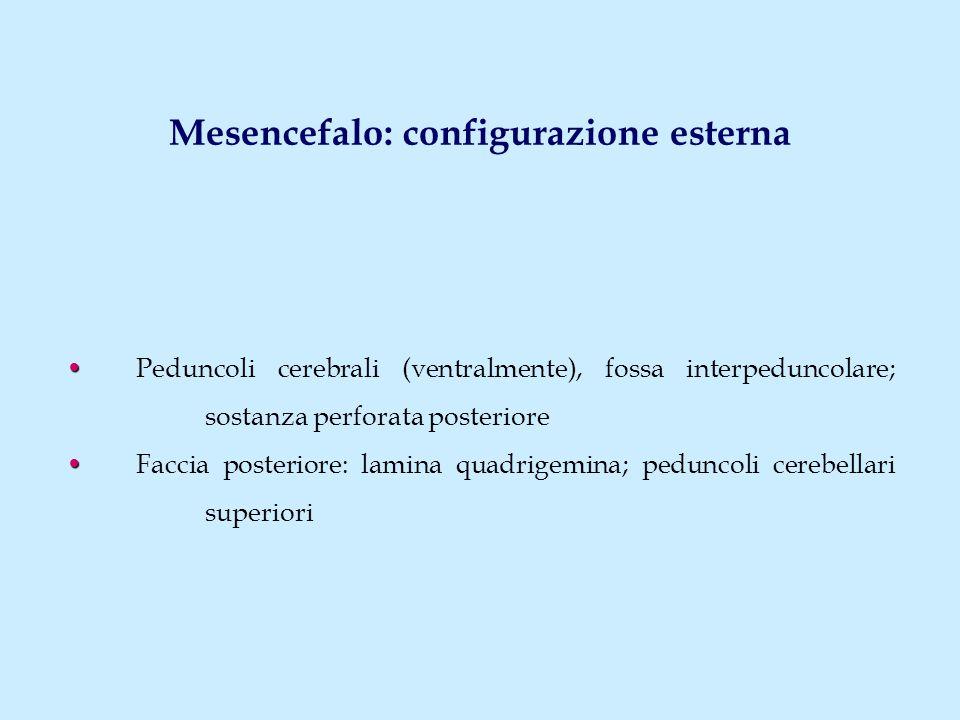 Mesencefalo: configurazione esterna Peduncoli cerebrali (ventralmente), fossa interpeduncolare; sostanza perforata posteriore Faccia posteriore: lamin