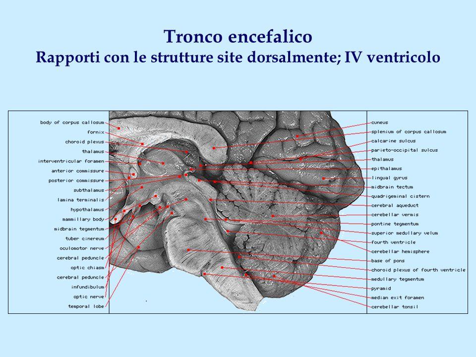 Tronco encefalico Rapporti con le strutture site dorsalmente; IV ventricolo