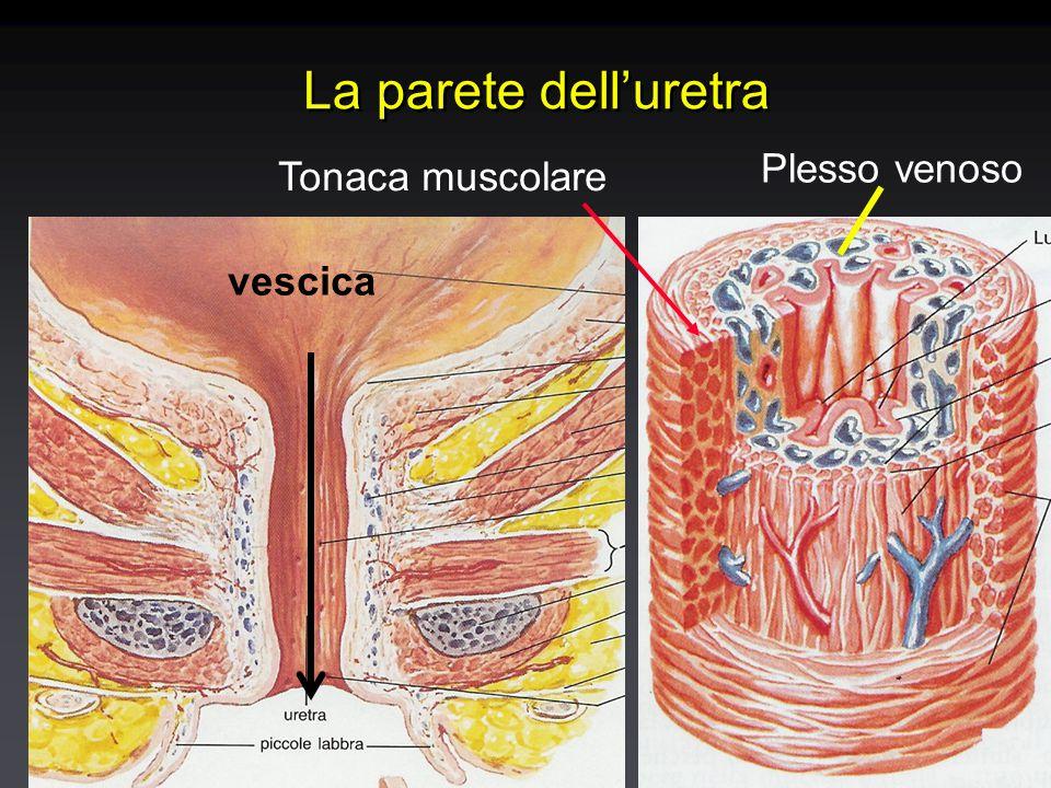 La parete dell'uretra vescica Plesso venoso Tonaca muscolare