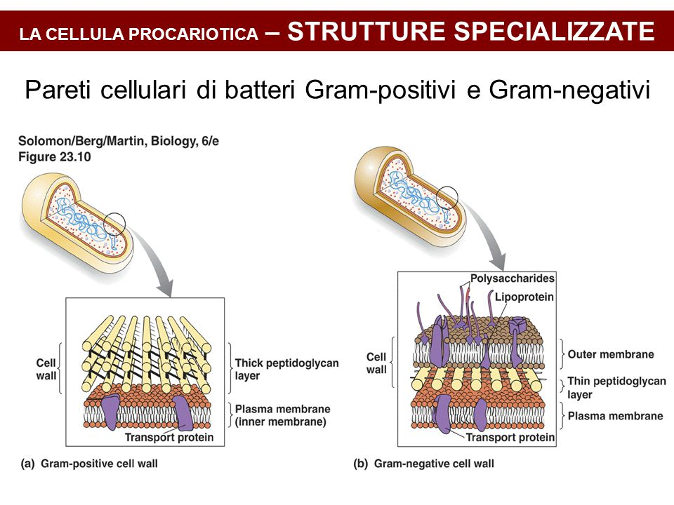 LA CELLULA PROCARIOTICA – STRUTTURE SPECIALIZZATE Pareti cellulari di batteri Gram-positivi e Gram-negativi