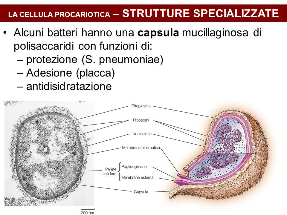 LA CELLULA PROCARIOTICA – STRUTTURE SPECIALIZZATE Alcuni batteri hanno una capsula mucillaginosa di polisaccaridi con funzioni di: –protezione (S. pne