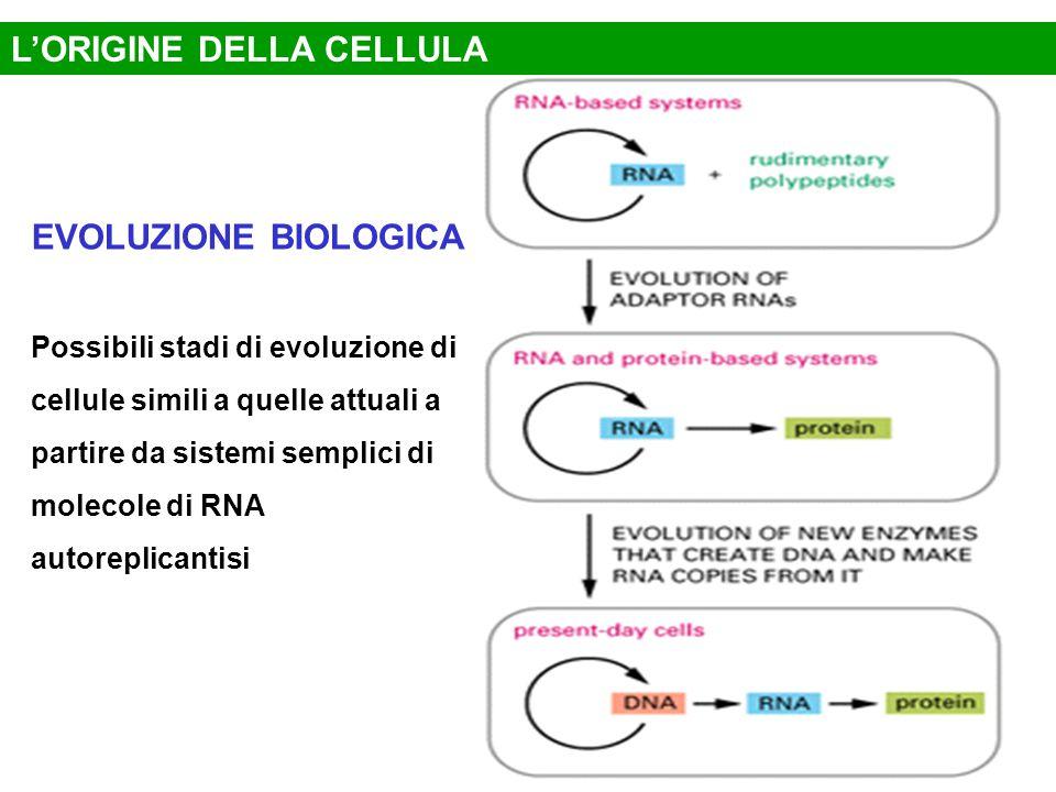 EVOLUZIONE BIOLOGICA Possibili stadi di evoluzione di cellule simili a quelle attuali a partire da sistemi semplici di molecole di RNA autoreplicantisi L'ORIGINE DELLA CELLULA