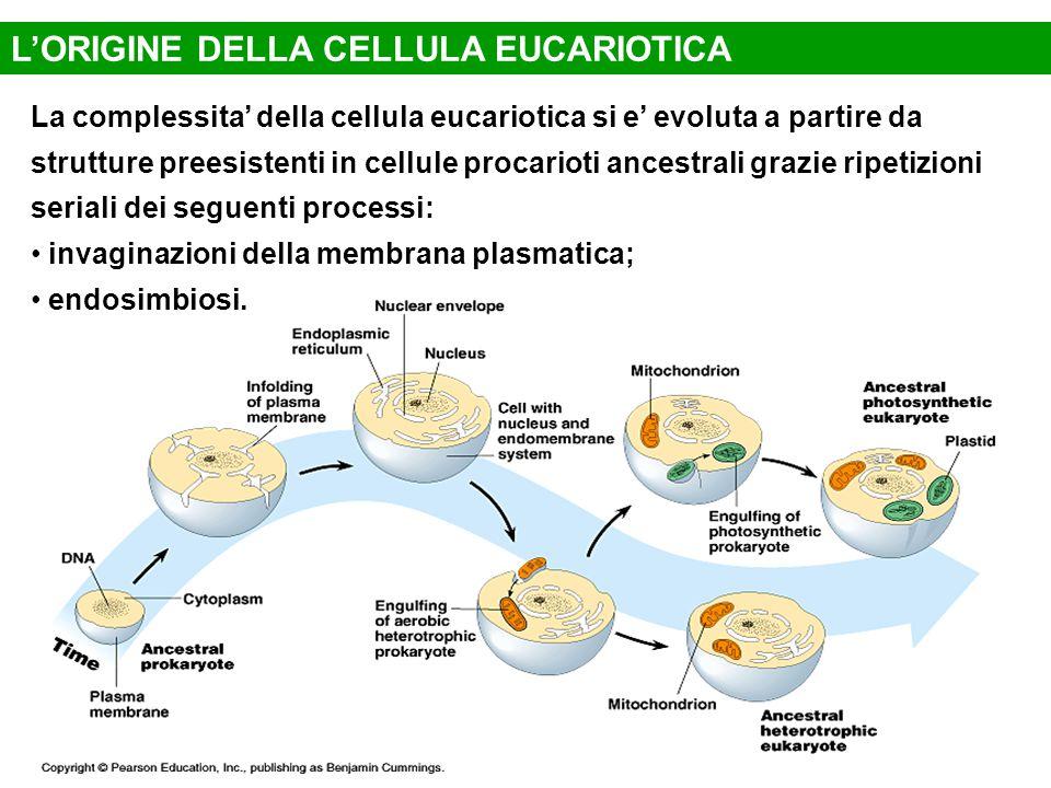 L'ORIGINE DELLA CELLULA EUCARIOTICA La complessita' della cellula eucariotica si e' evoluta a partire da strutture preesistenti in cellule procarioti ancestrali grazie ripetizioni seriali dei seguenti processi: invaginazioni della membrana plasmatica; endosimbiosi.
