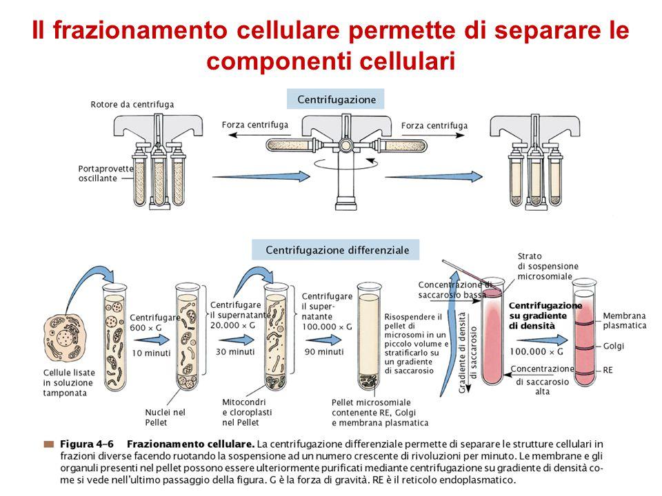 Il frazionamento cellulare permette di separare le componenti cellulari