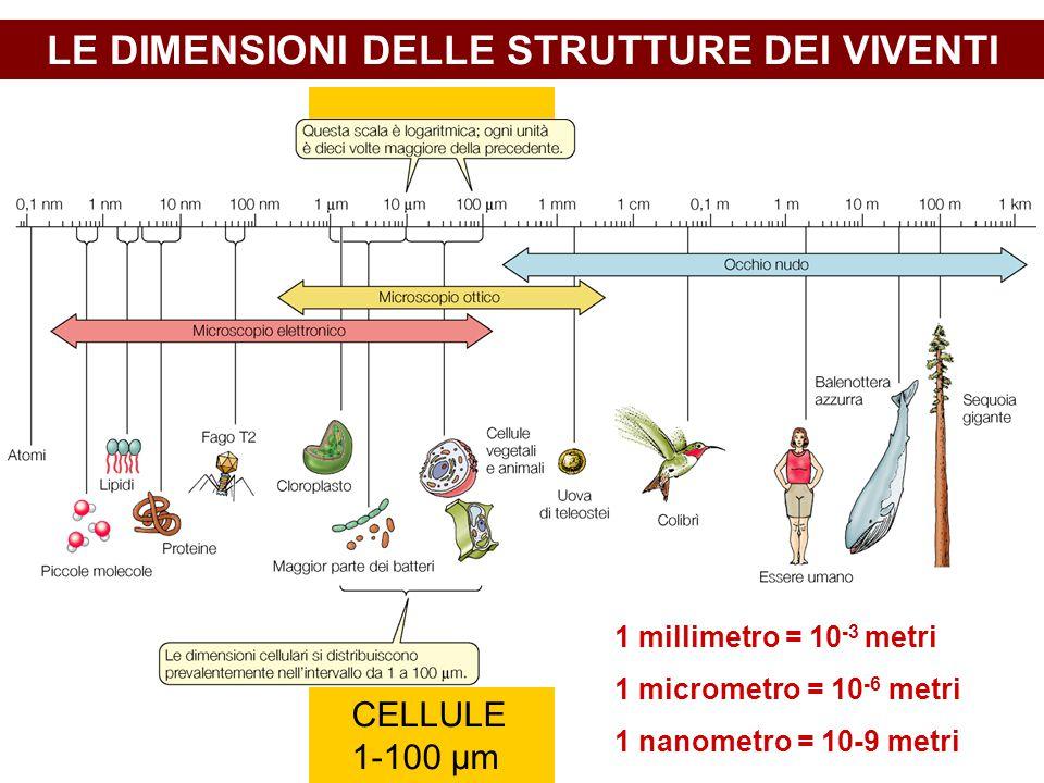 LE DIMENSIONI DELLE STRUTTURE DEI VIVENTI CELLULE 1-100 μm 1 millimetro = 10 -3 metri 1 micrometro = 10 -6 metri 1 nanometro = 10-9 metri